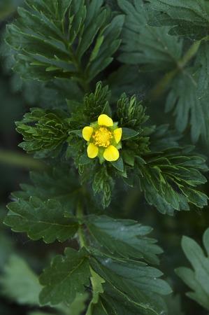 medicinal: Chinensis- medicinal plants Potentilla