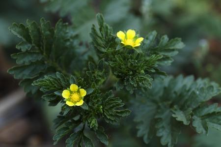 plantas medicinales: Chinensis- plantas medicinales Potentilla