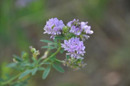 Medicinal plants of Alfalfa