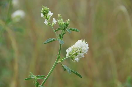 medicinal: Medicinal plants of Alfalfa