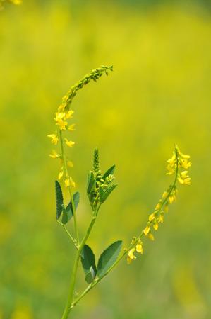 angina: Melilotus officinalis, medicinal plants