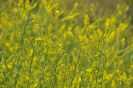 medicinal: Melilotus officinalis, medicinal plants