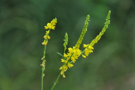 angina: Melilotus officinalis, plantas medicinales Foto de archivo