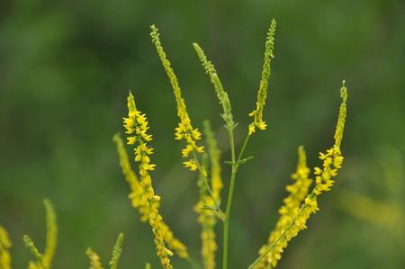 officinalis: Melilotus officinalis, medicinal plants