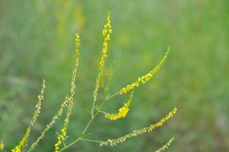 Melilotus officinalis, medicinal plants