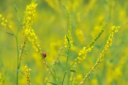 angor: Melilotus officinalis, plantas medicinales Foto de archivo
