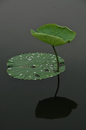 aquatic herb: lotus leaves Stock Photo