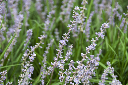 Liriope medicinal plants flower photography