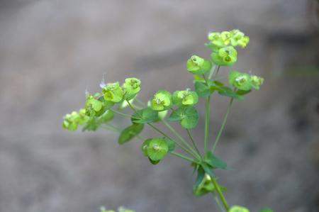medicinal: Euphorbiaceae medicinal plants