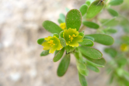 enteritis: Purslane yellow herbs flower photography material