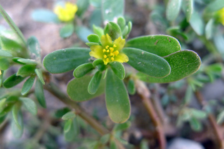 enteritis: Purslane yellow herbs flower photography material