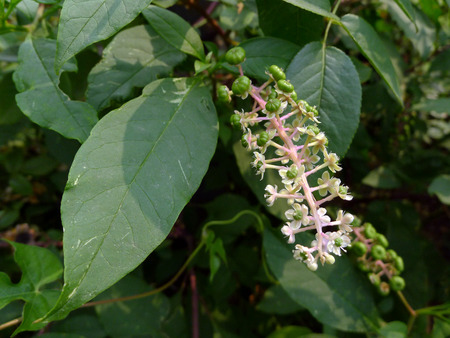 Phytolacca medicinal plants
