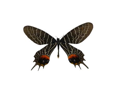 fullframes: Bhutan butterfly multi bhutanitis Stock Photo