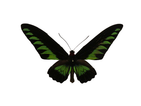 Malaysias red necked bird swallowtail butterfly