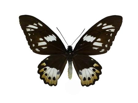 fullframes: Indonesias green bird swallowtail butterfly