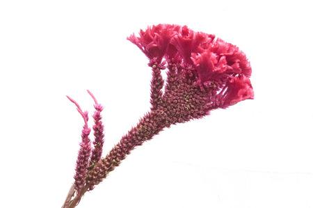 cockscomb: Cockscomb medicinal plants Stock Photo