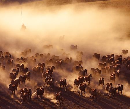 Inner Mongolia horses running