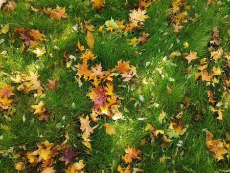 Autumn green leaf and maple leaf
