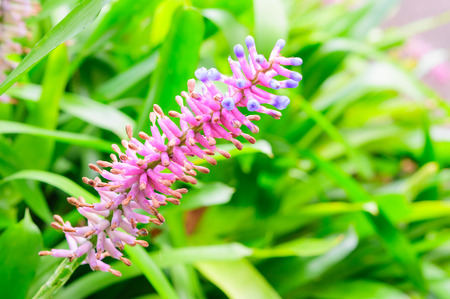 aechmea: Close up of Pink purple bromeliad flower in bloom in springtime (Aechmea gamosepala, Bromeliaceae) Stock Photo