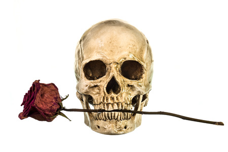 eye socket: Skull with dry red rose in teeth on white background Stock Photo