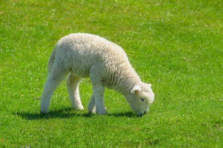 newzealand: Sheep in New Zealand.