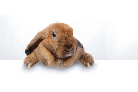 A cute brown rabbit standing on the edge of a white wall. Festival concept. copy space
