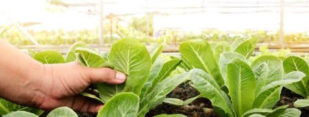 Farmers' hands hold organic green salad vegetables in the plot. Concept of healthy eating, non-toxic food, growing vegetables to eat at home 版權商用圖片