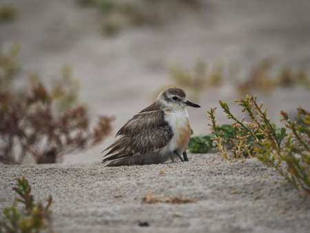 New Zealand dotterel red-breasted plover Charadrius obscurus chick hiding underneath feathers Opoutere beach Coromandel