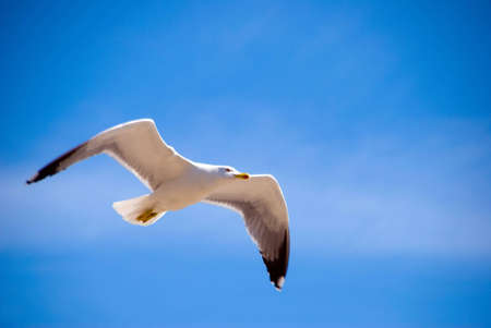 spreaded: A seagull in the blue sky with spreaded wing