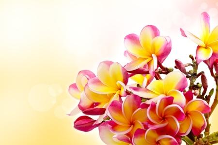 Flores coloridas do frangipani fundo Banco de Imagens