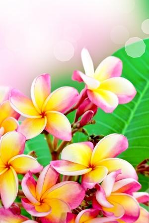 Beautiful frangipani flower summer Stock Photo