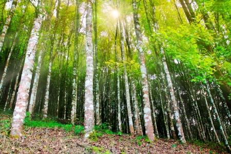 公園の自然の背景のカエデの木 写真素材