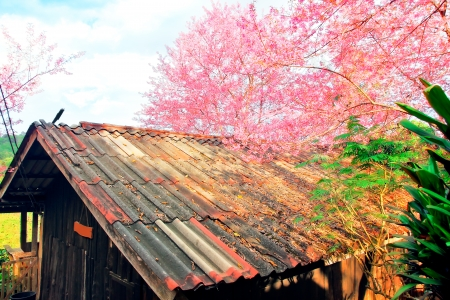 olden: Beautiful views olden house blossom cherry flowers nature background