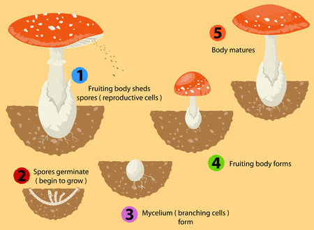 Fungi life cycle Illustration