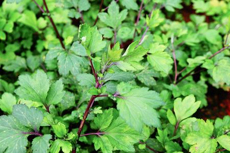 apium graveolens: Apium graveolens plant nature background