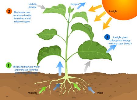 La fotosíntesis, proceso por el cual la mayoría de las plantas producen alimentos utilizando la luz solar Ilustración de vector