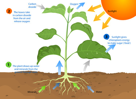 Photosynthesis,process by which most plants make food using sunlight Ilustração