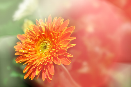 Blooming beautiful daisy in soft style wallpaper background