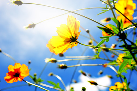 cosmos flower: Cosmos flower sceneflora and nature background Stock Photo