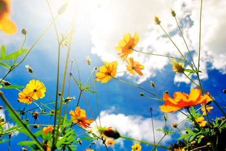 cosmos flower: Beautiful cosmos flower over blue sky nature background