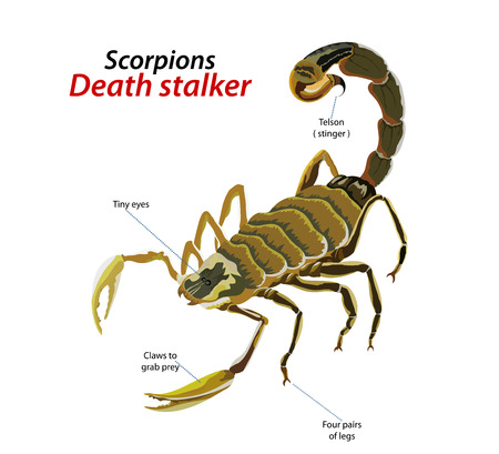 Scorpion death stalker vector on a white background