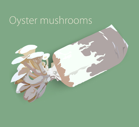 fungi: Oyster mushrooms,implantation,fungi vector nature background Illustration