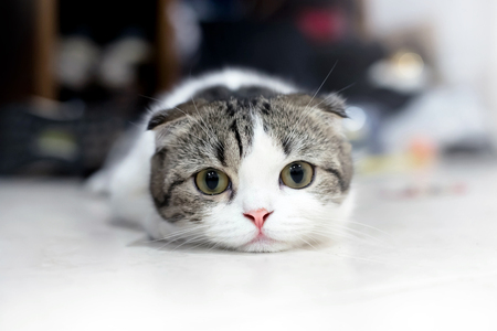 one eyed: White and grey cat animal Scottish Fold cute cat sweet, Close up. Yellow eyed Cat.