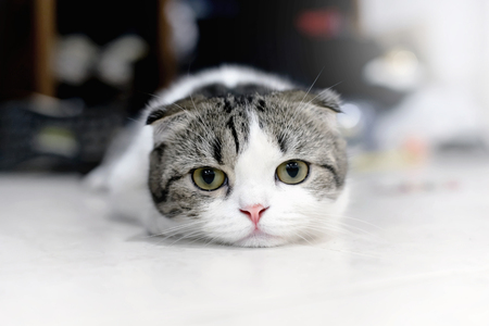 White and grey cat animal Scottish Fold cute cat sweet, Close up. Yellow eyed Cat.