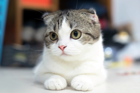 grey eyed: White and grey cat animal Scottish Fold cute cat sweet, Close up. Yellow eyed Cat.