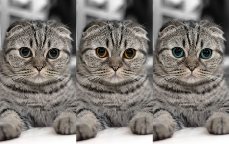 Portrait of brown-eyed three cats isolated on the floor, the Cute cat Three-color eye sleeps, Scottish Fold. Close up. Stock Photo