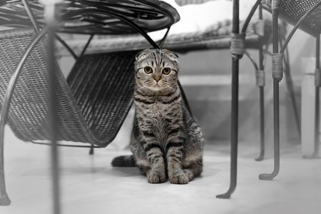 grey eyed: Portrait of brown-eyed cat isolated on the floor,  Cat sleeping on the ground And pondering the past stories in life, the Cute cat sleeps, Scottish Fold. Stock Photo
