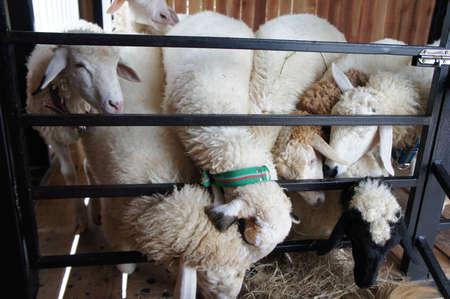 sheepy: many sheep Stock Photo