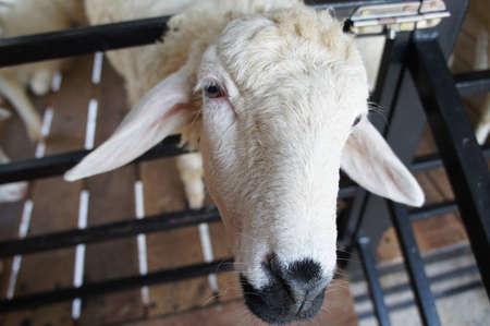 sheepy: black mouth