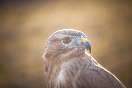 Portrait of Long-legged buzzard during sunset